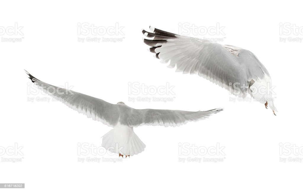 European Herring Gulls, Larus argentatus, 4 years old, flying stock photo