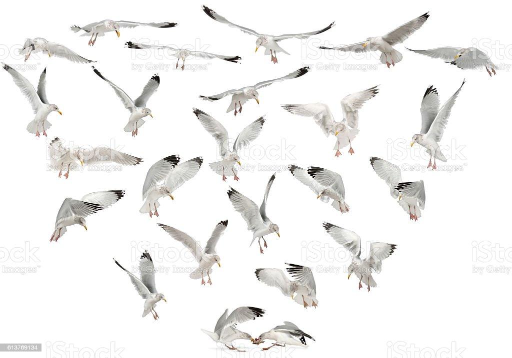 European Herring Gulls, Larus argentatus, 4 years old, flying stock photo