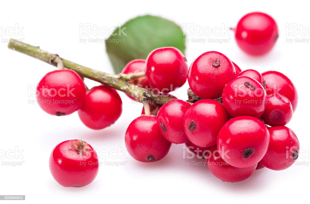 European Holly fruits on a white background. stock photo