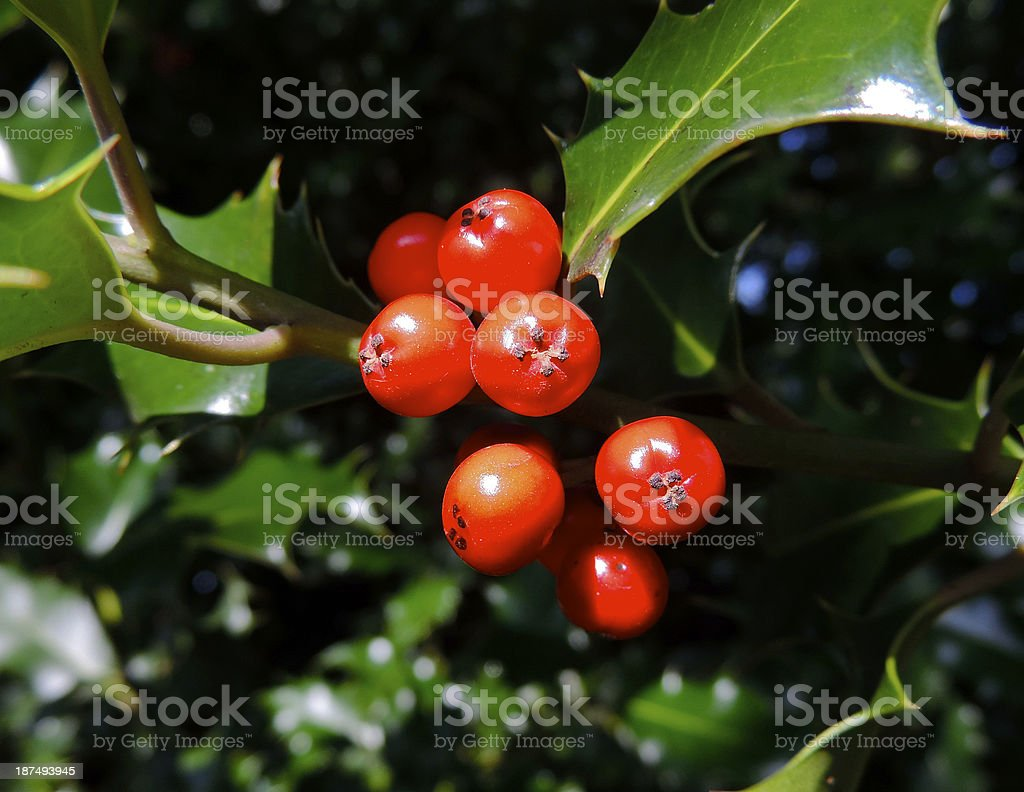 european holly stock photo