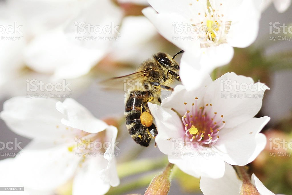 European Honey Bee collecting pollen from Cherry Blossom stock photo