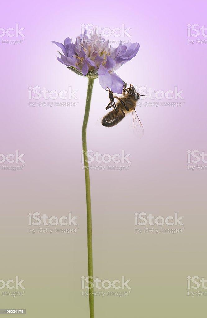 European honey bee foraging pollen on purple background stock photo