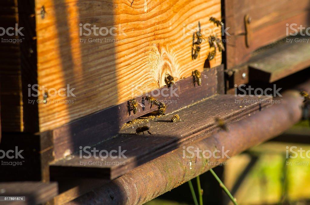 European honey bee stock photo