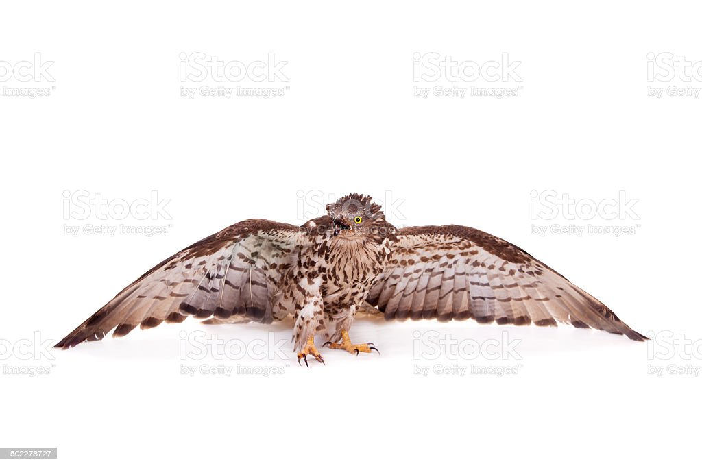European Honey Buzzard on white stock photo