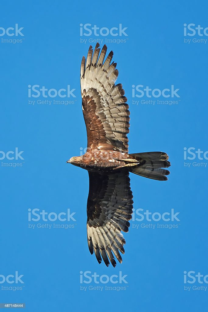 European Honey Buzzard (Pernis apivorus) stock photo