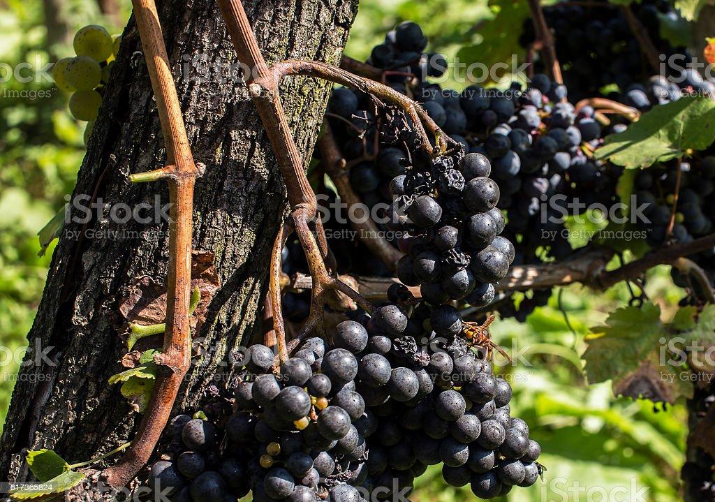 European hornet on blue grapes. stock photo