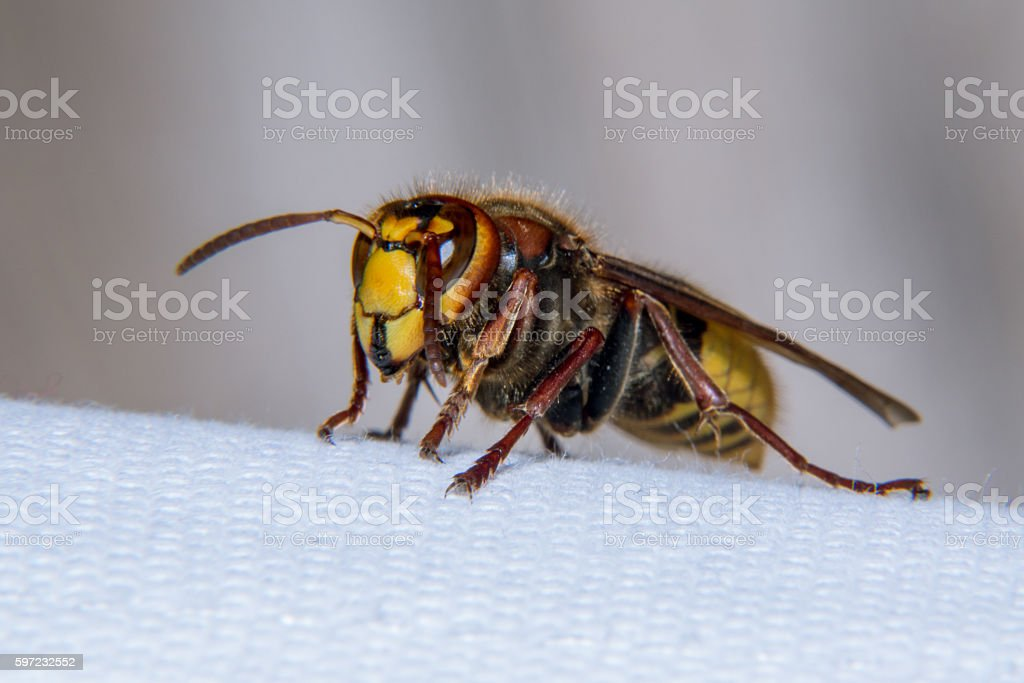 European hornet stock photo
