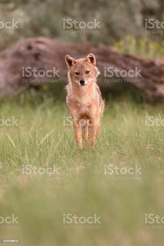 European jackal, Canis aureus moreoticus stock photo