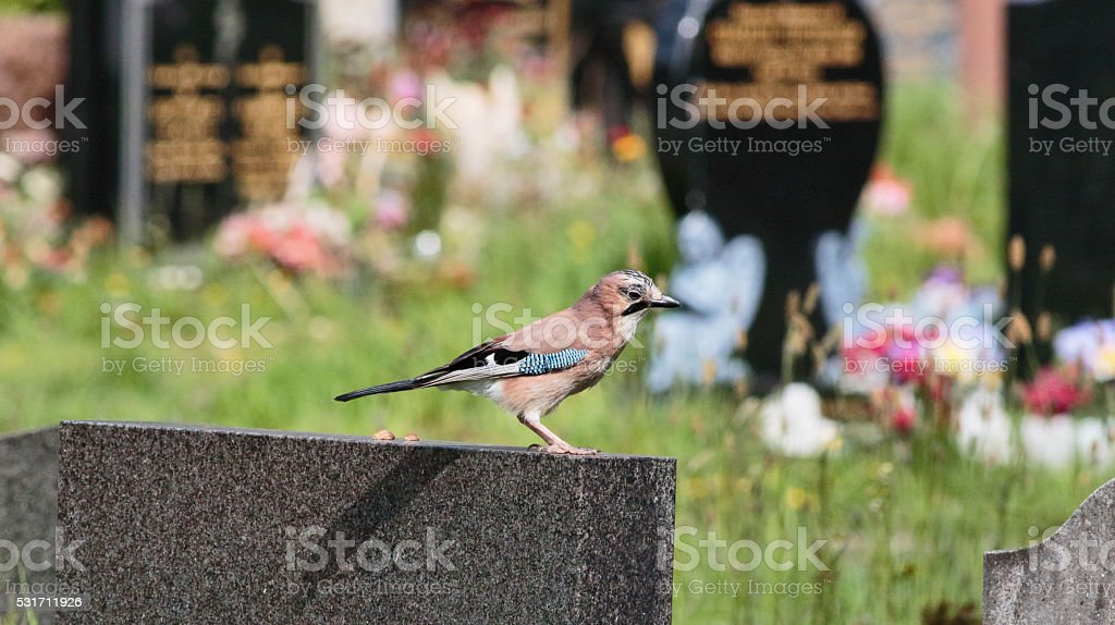 European jay hunting from gravestone lookout post stock photo