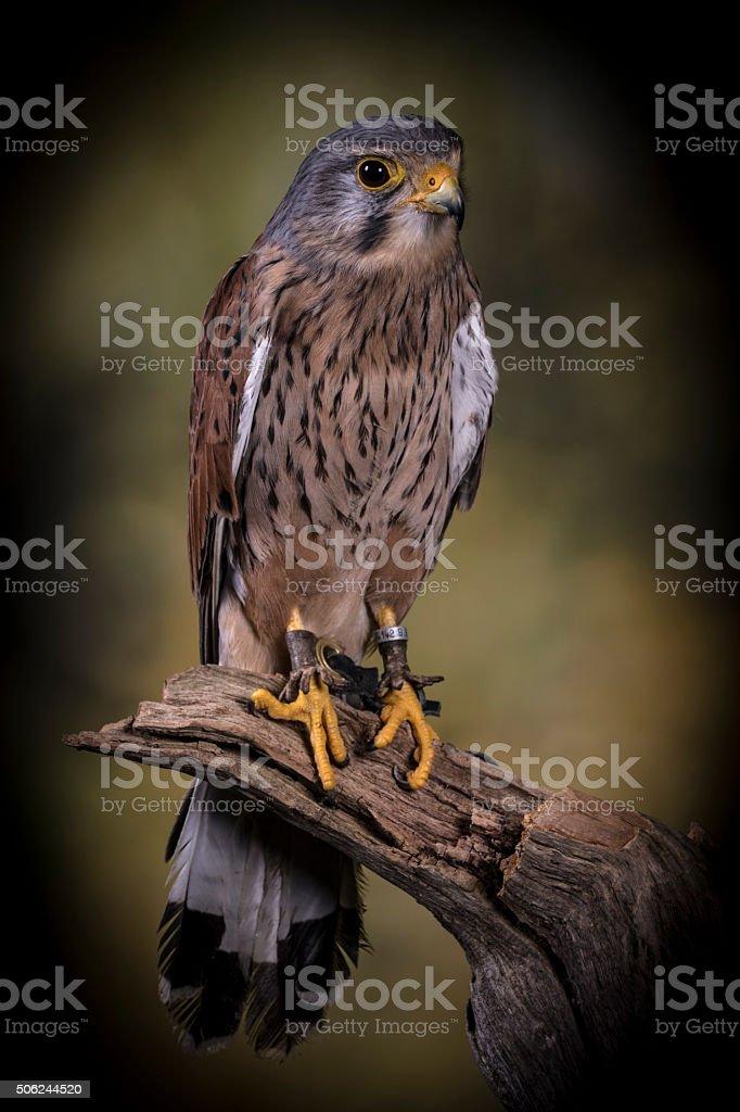 European Kestrel stood on branch stock photo