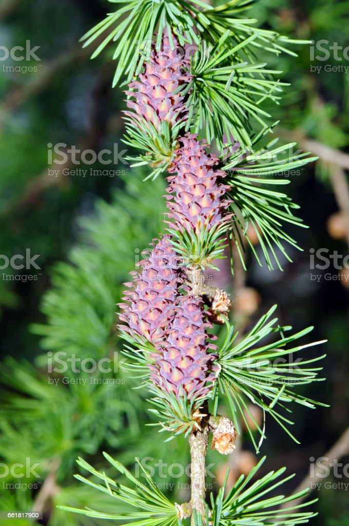 European larch (Larix decidua) branch stock photo