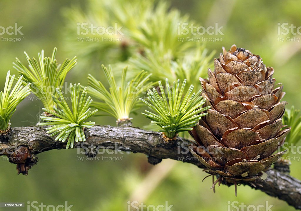 European Larch stock photo