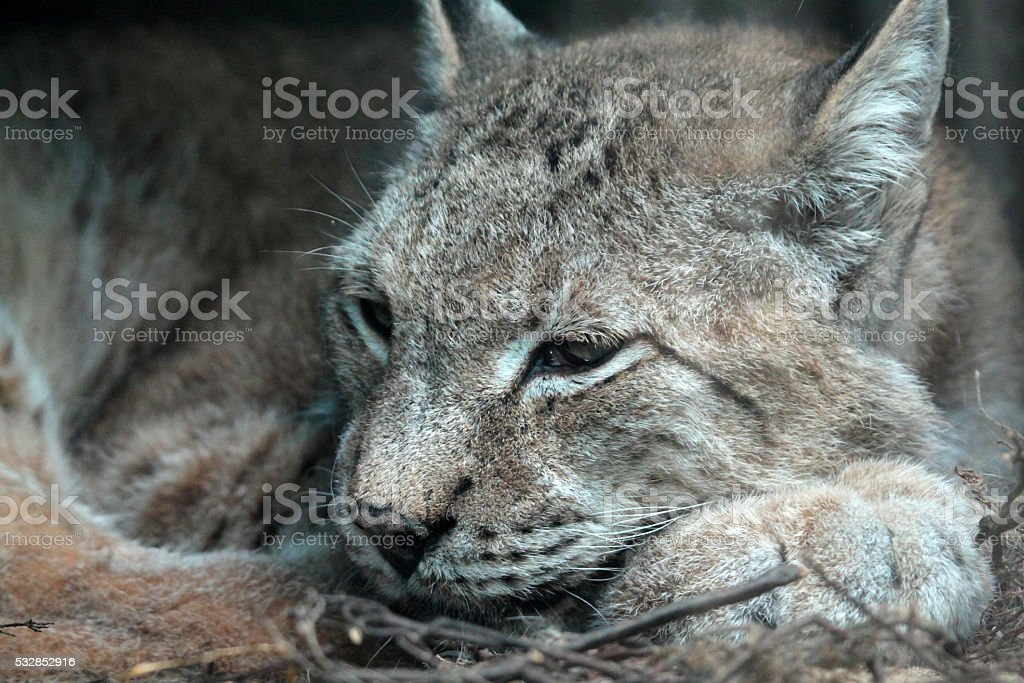 European Linx are a medium wild cat stock photo