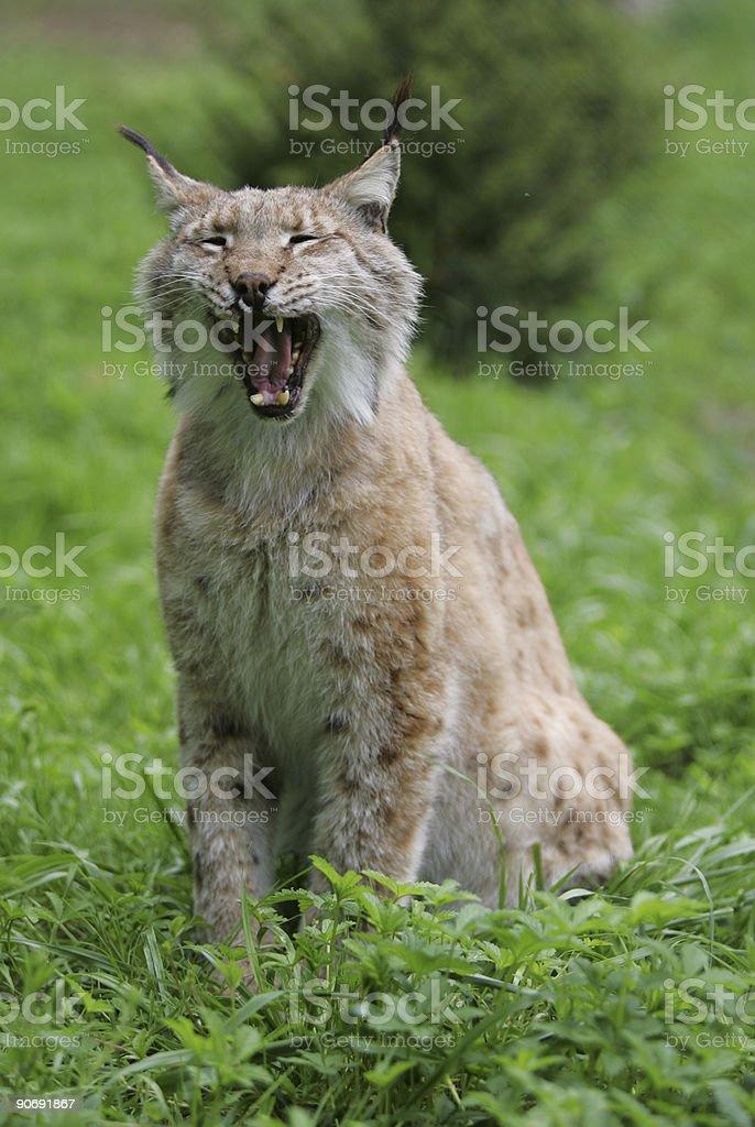 European lynx yawning royalty-free stock photo