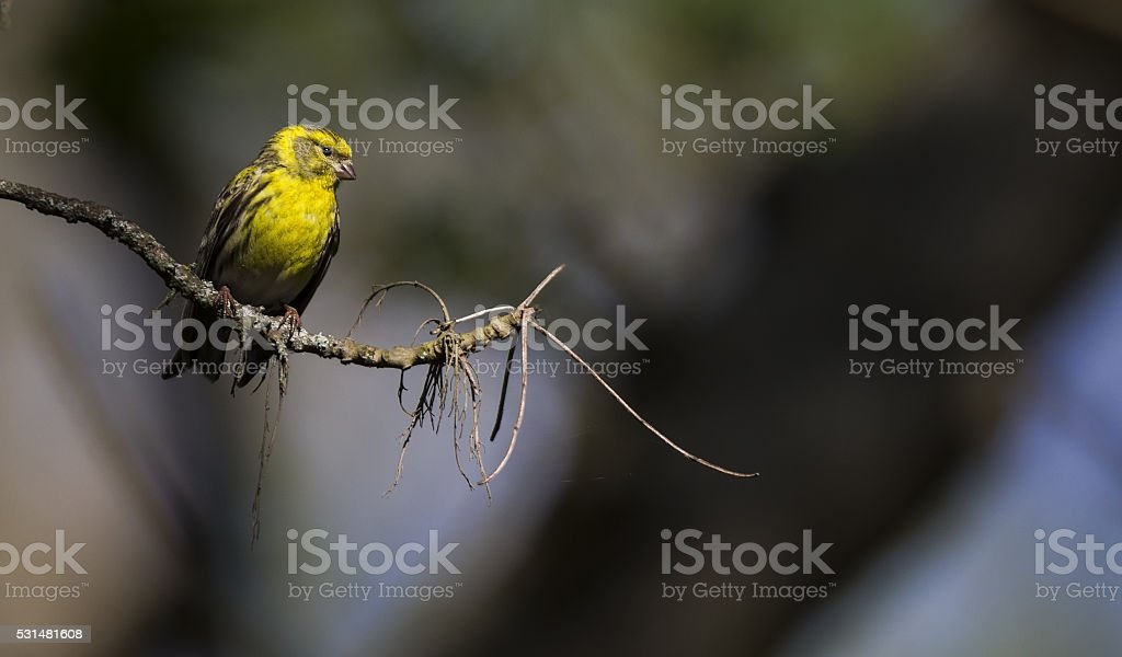European male serin singing on a branch. stock photo