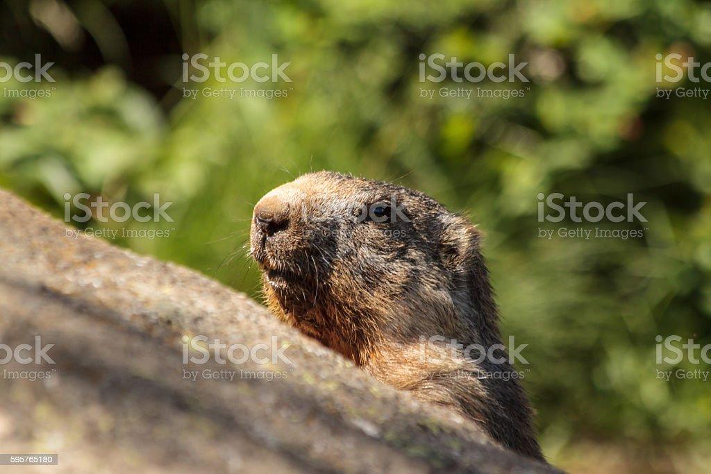 European mammals: Alpine Marmot stock photo