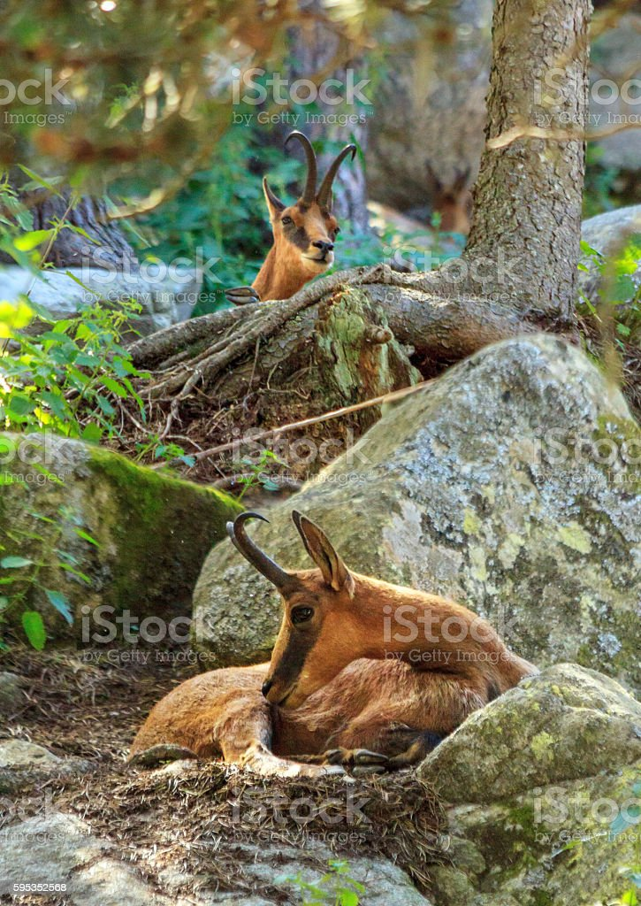 European mammals: Izard (Chamois of the Pyrenees) stock photo
