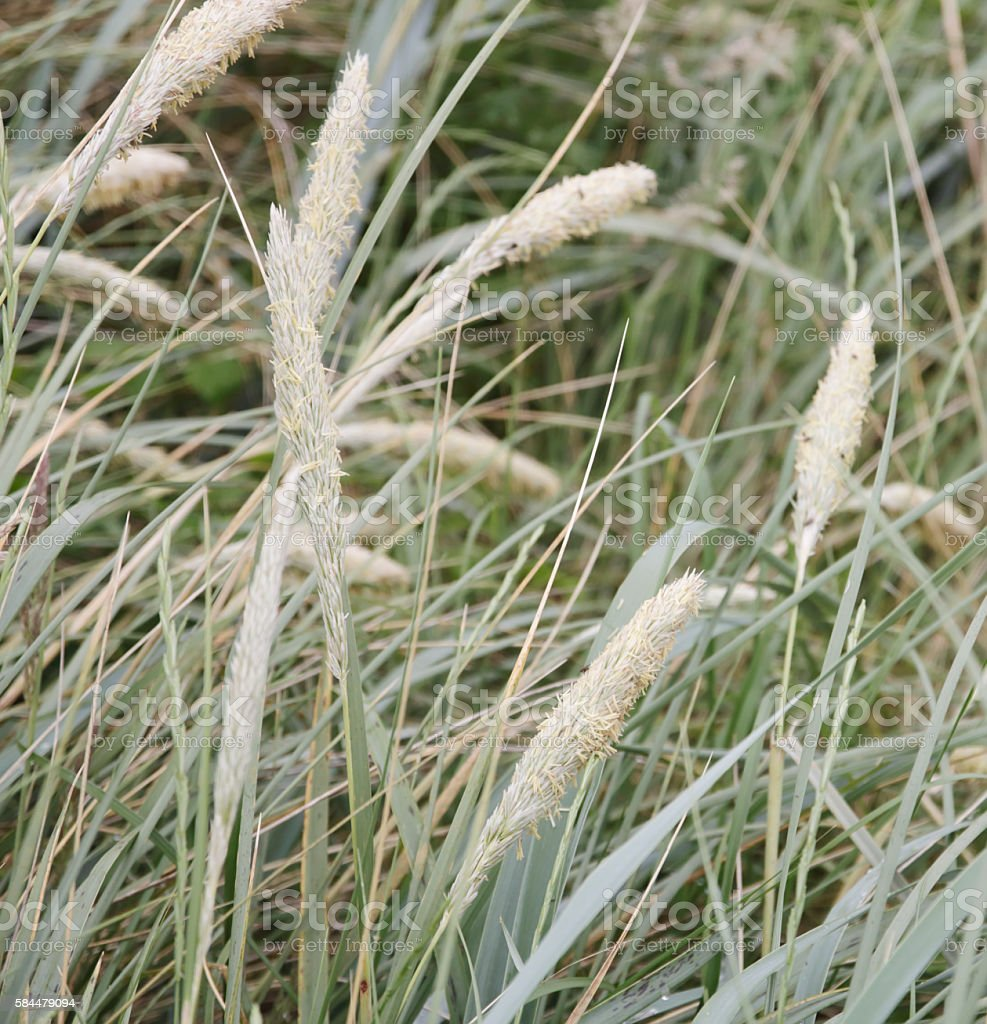European marram grass (Ammophila arenaria) stock photo