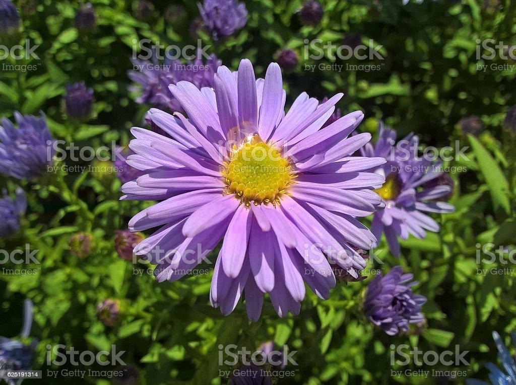 European Michaelmas-Daisy stock photo
