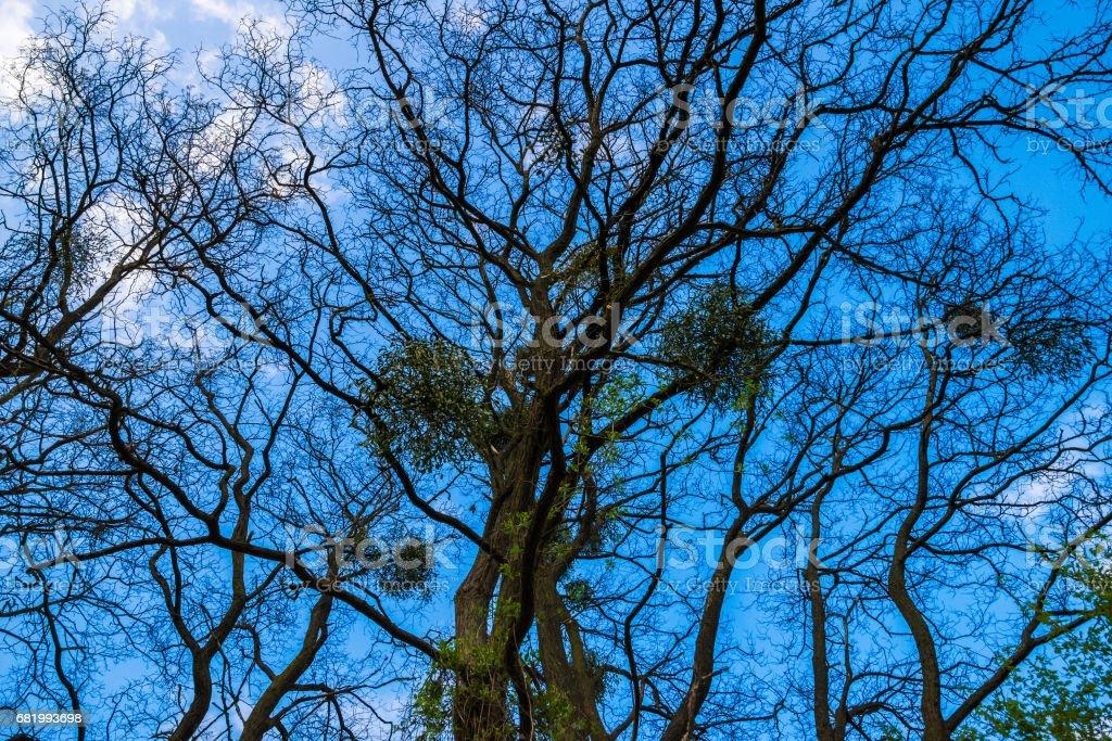 European mistletoe on bald tree in winter blue sky clouds stock photo