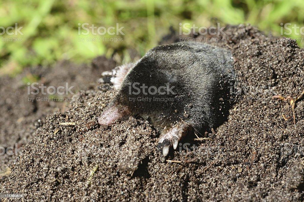 European Mole (Talpa europaea) on a Molehill stock photo