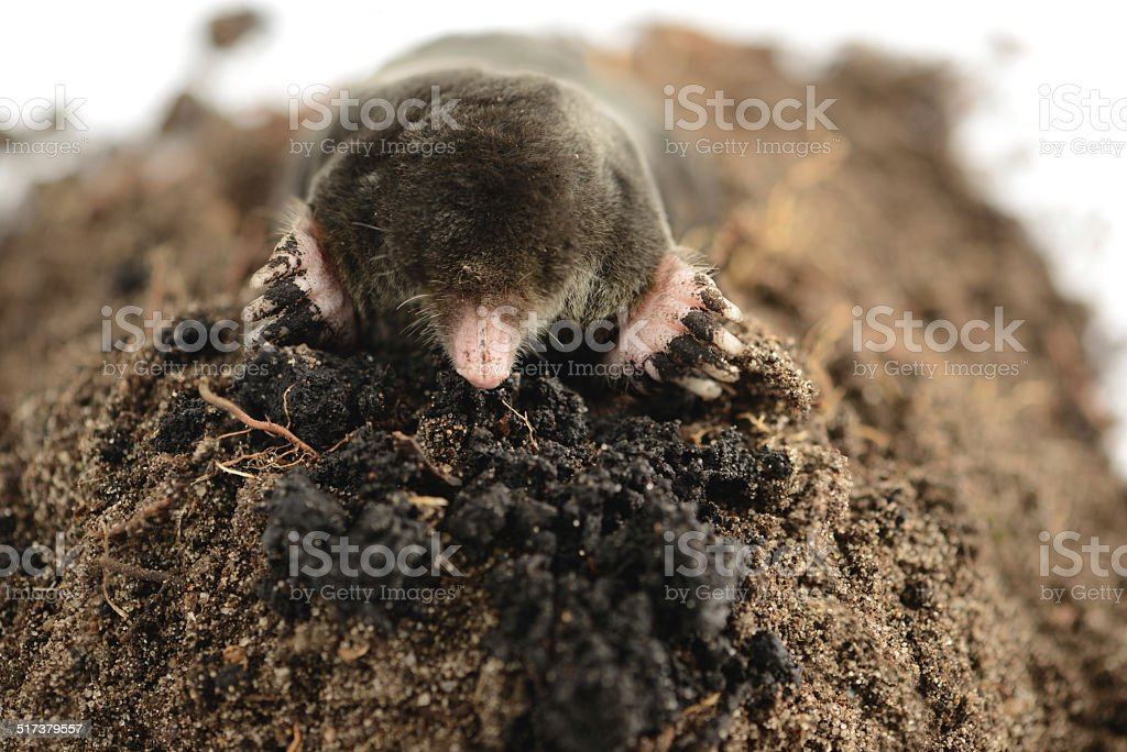 European Mole (Talpa europaea) stock photo