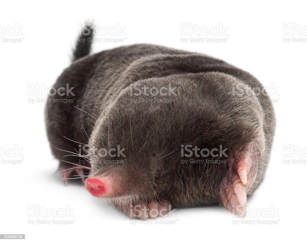 European Mole, Talpa europaea, against white background stock photo