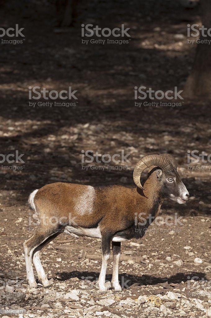European mouflon royalty-free stock photo