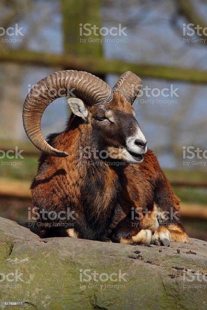 european mouflon stock photo