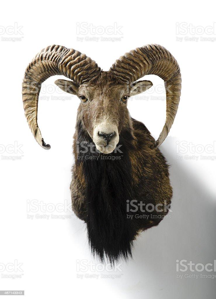 European Mouflon Sheep Trophy Head Mount stock photo