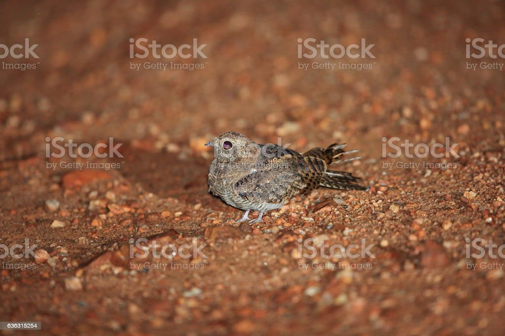 European Nightjar stock photo