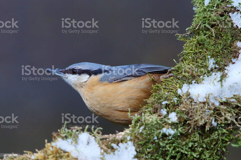 European nuthatch stock photo