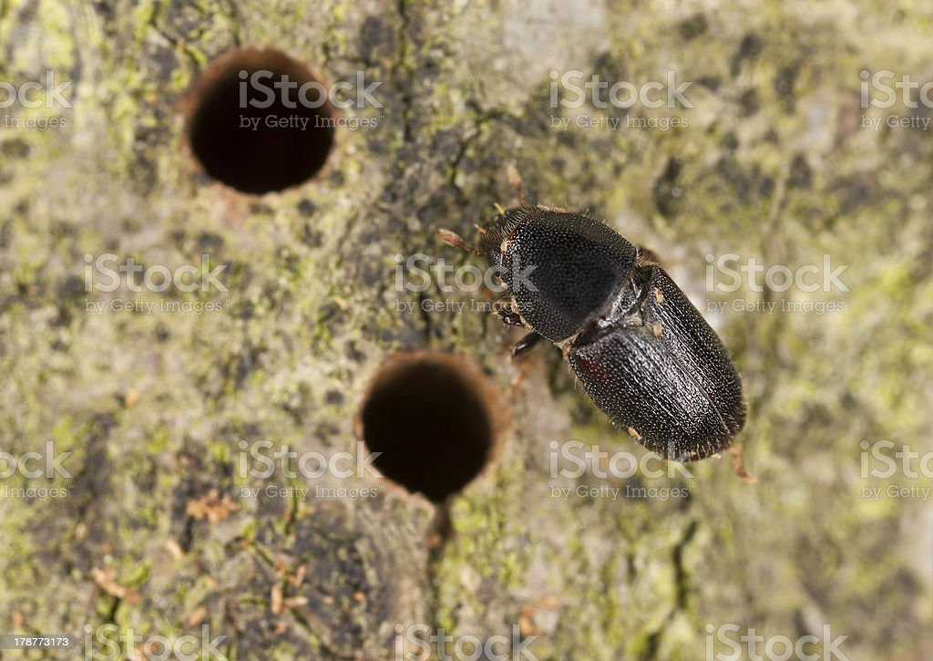 European oak bark beetle, Scolytus intricatus, extreme close-up stock photo