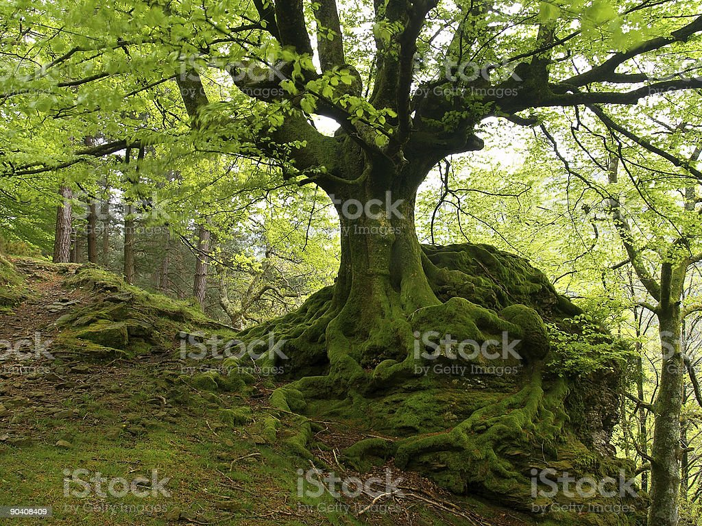 European or Common Beech (Fagus sylvatica) stock photo