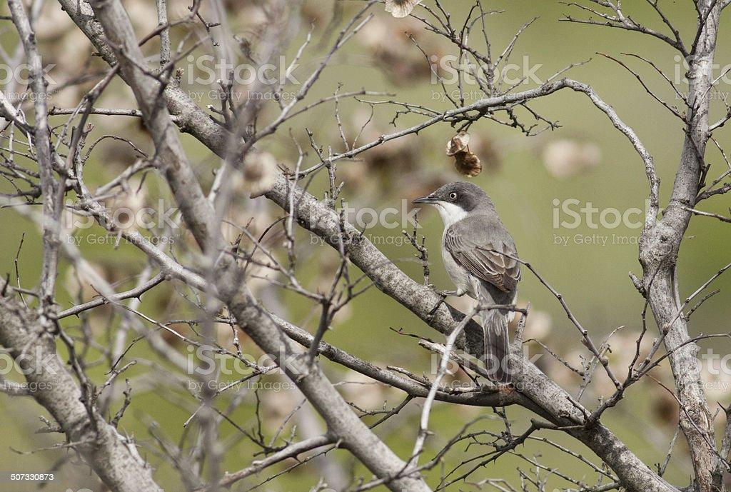 European Orphean Warbler stock photo