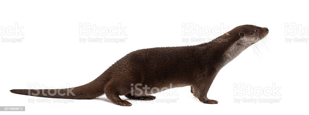 European Otter, Lutra lutra, 6 years old, standing stock photo
