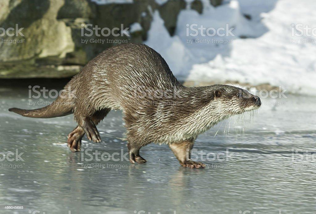 European otter (Lutra lutr.) stock photo