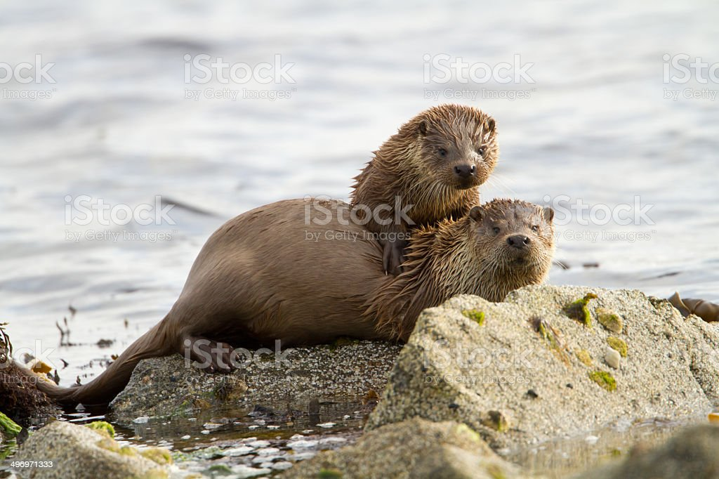 European otters (Lutra lutra), mother and cub stock photo
