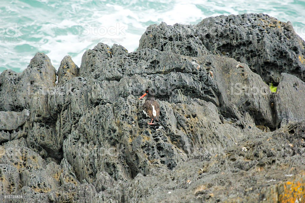 European Oystercatcher in Wales, UK stock photo