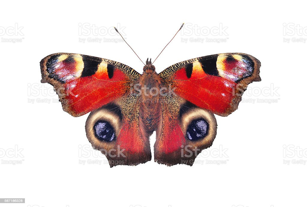 European peacock butterfly, isolated on white stock photo