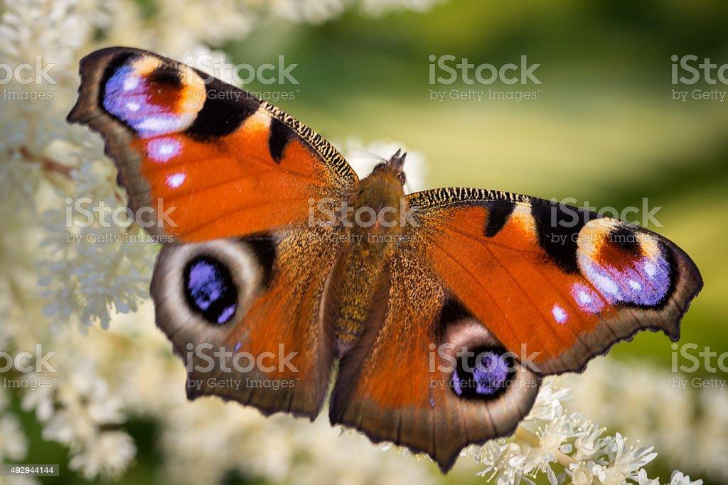 European Peacock butterfly stock photo