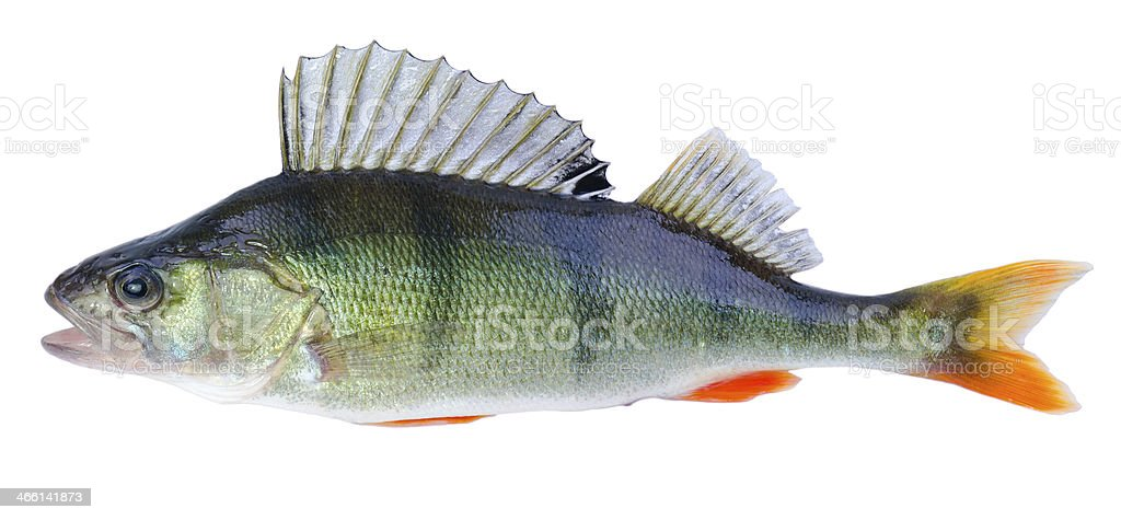 European perch fish stock photo