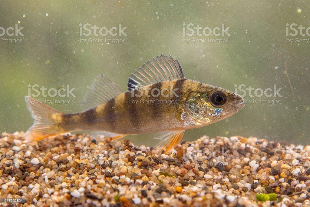 European perch stock photo