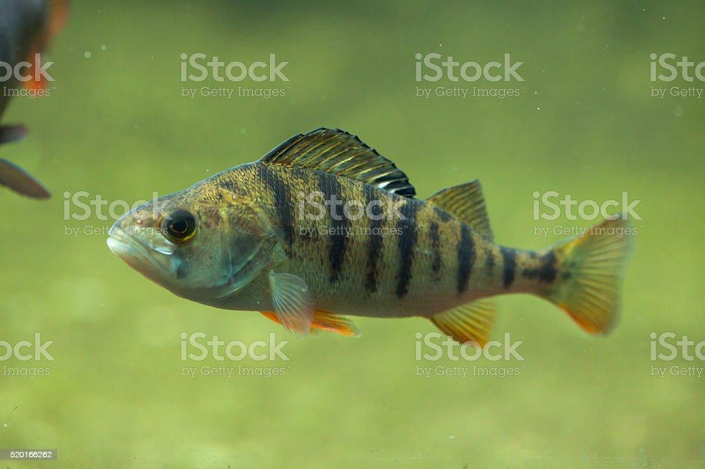 European perch (Perca fluviatilis). stock photo
