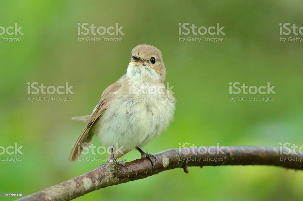 European pied flycatcher (Ficedula hypoleuca) stock photo