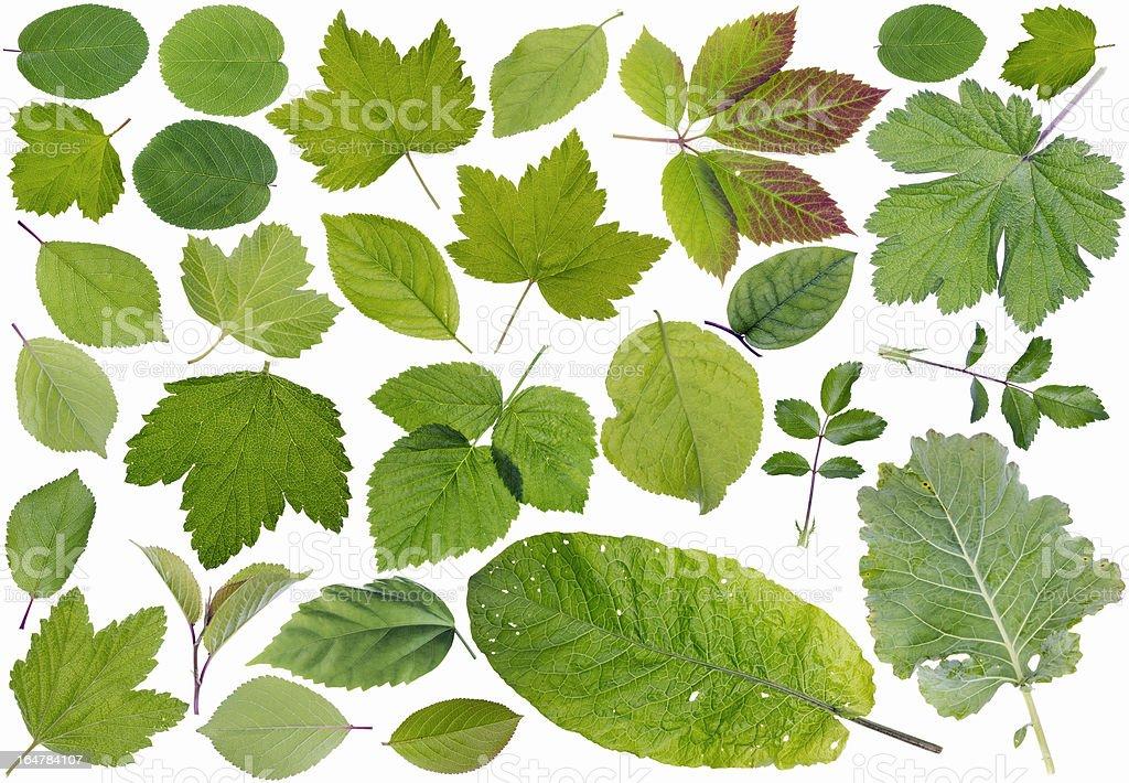 European plants leaves royalty-free stock photo