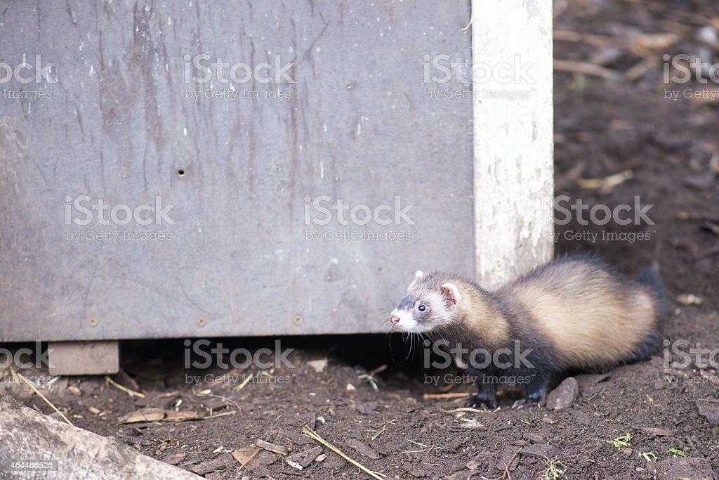 European polecat stock photo