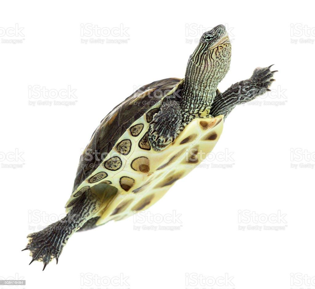 European pond turtle (1 year old), Emys orbicularis, swimming stock photo