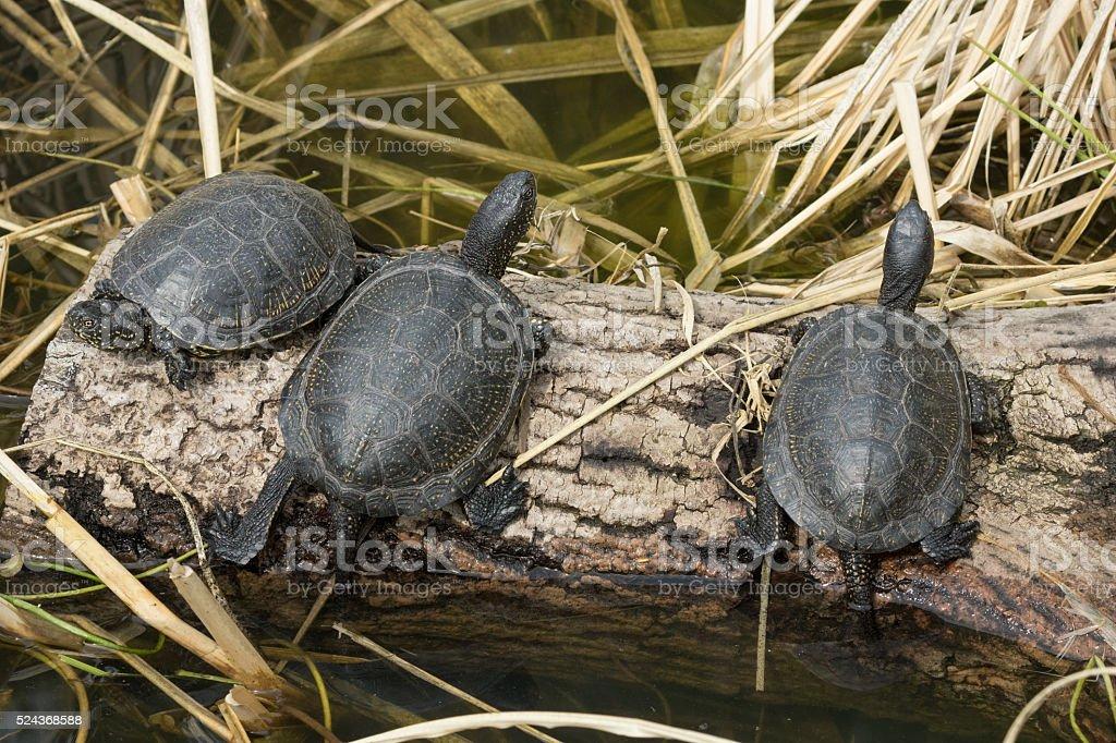 European pond turtles (Emys orbicularis) stock photo