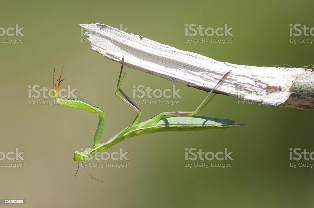 European Praying Mantis on a branch royalty-free stock photo